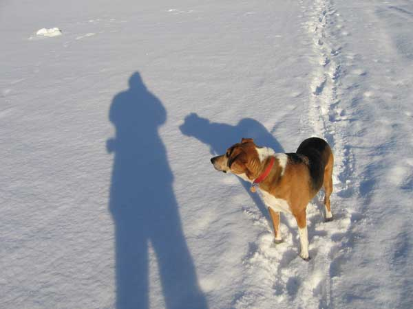 American Foxhound Iggy Pup on a walk in the snow