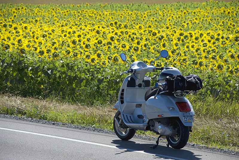 Vespa GTS scooter parked along a field of sunflowers