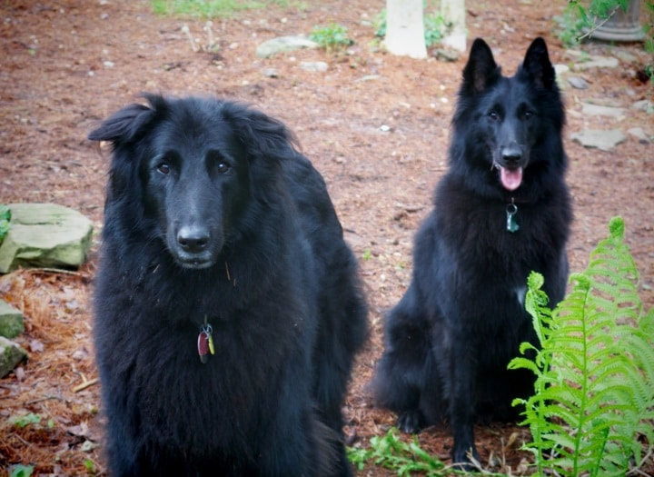 Two Belgian Sheepdogs in garden