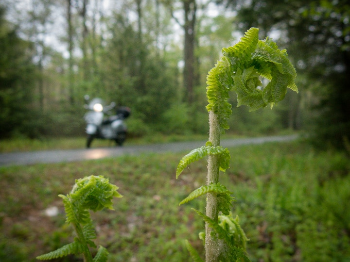 fiddleheads and Vespa scooter