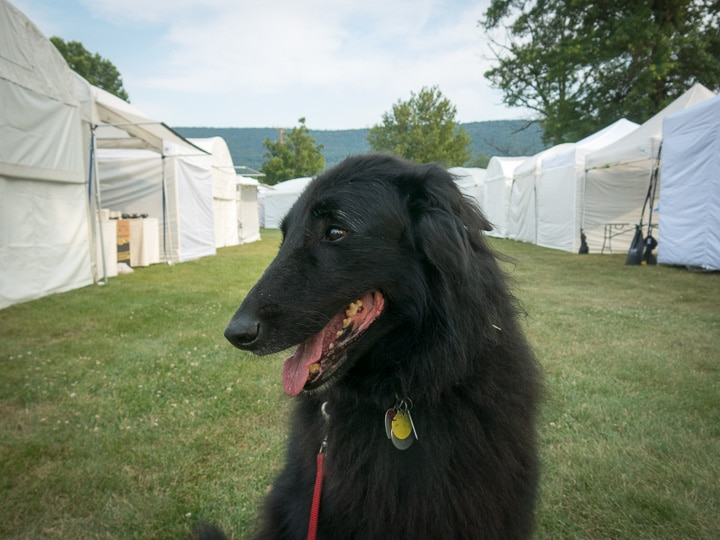 Junior, Belgian Sheepdog, at the People's Choice Festival in Boalsburg, Pennsylvania