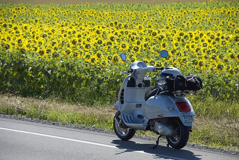 Vespa GTS scooter parked along a field of sunflowers
