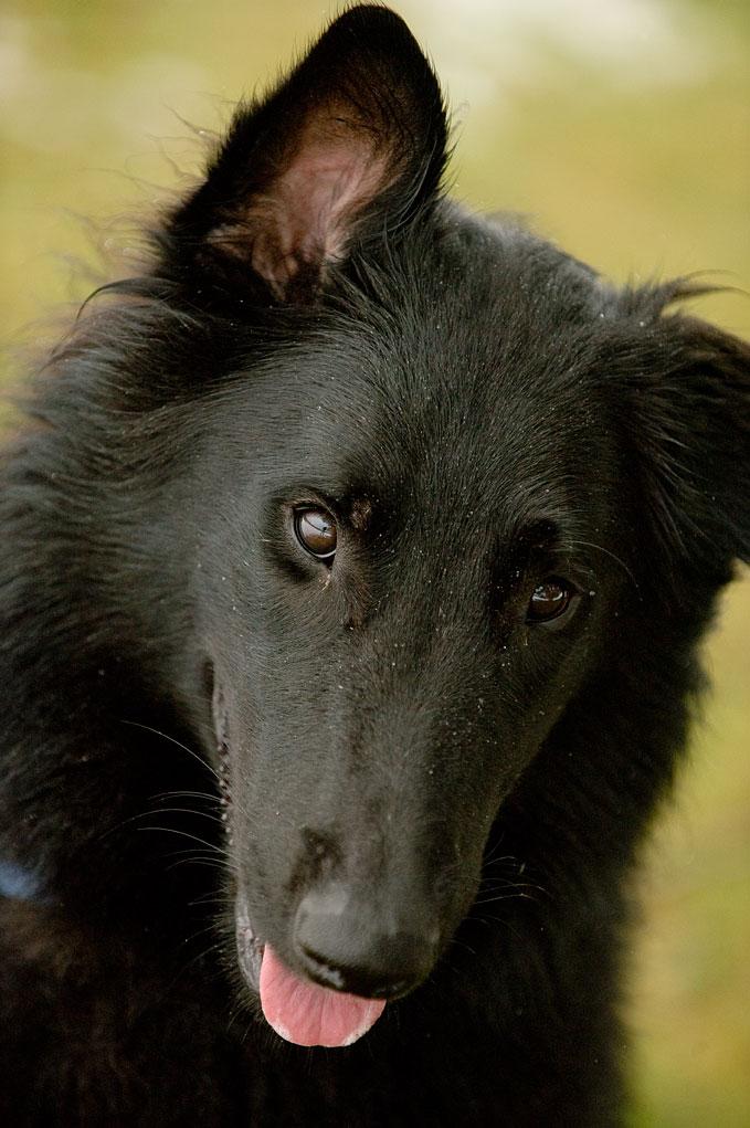 Belgian Sheepdog portrait