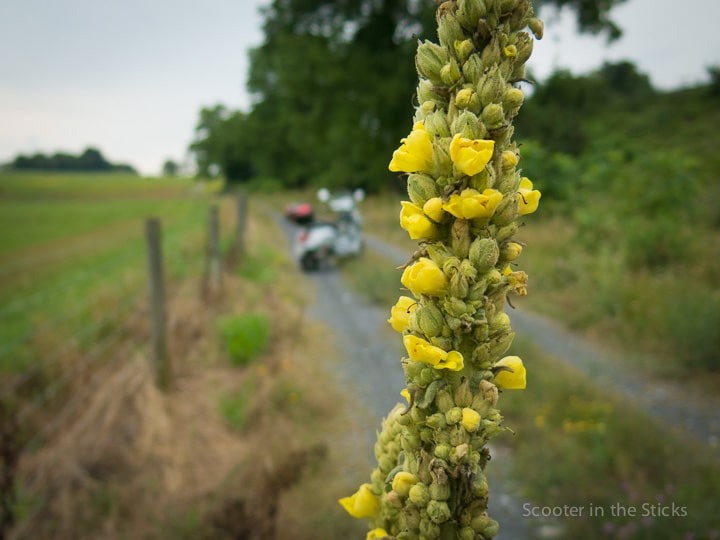 Verbascum thapsus plant with Vespa scooter