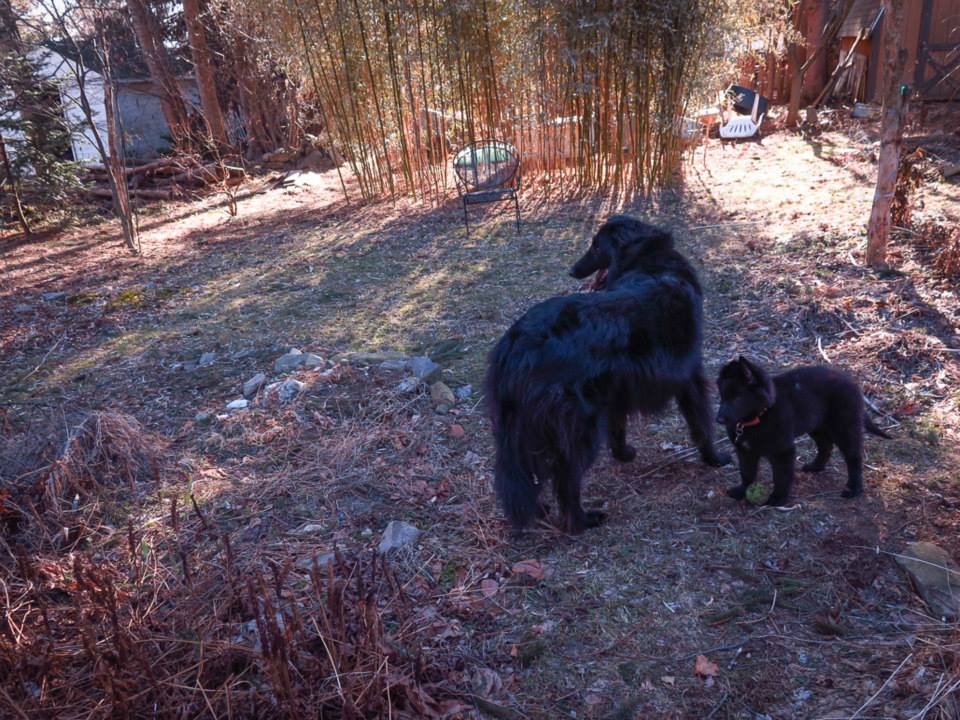 Male and female Belgian Sheepdogs