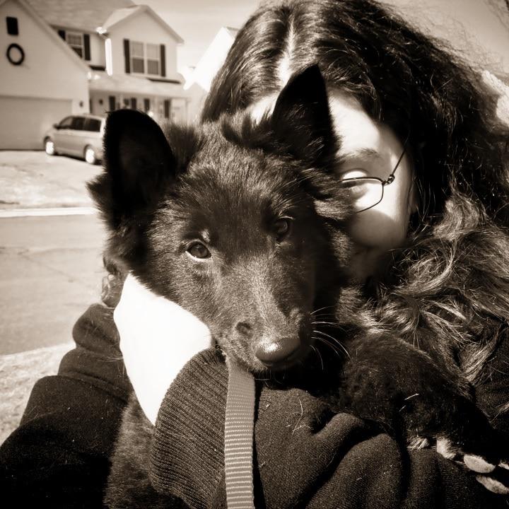 11 week old Belgian Sheepdog puppy