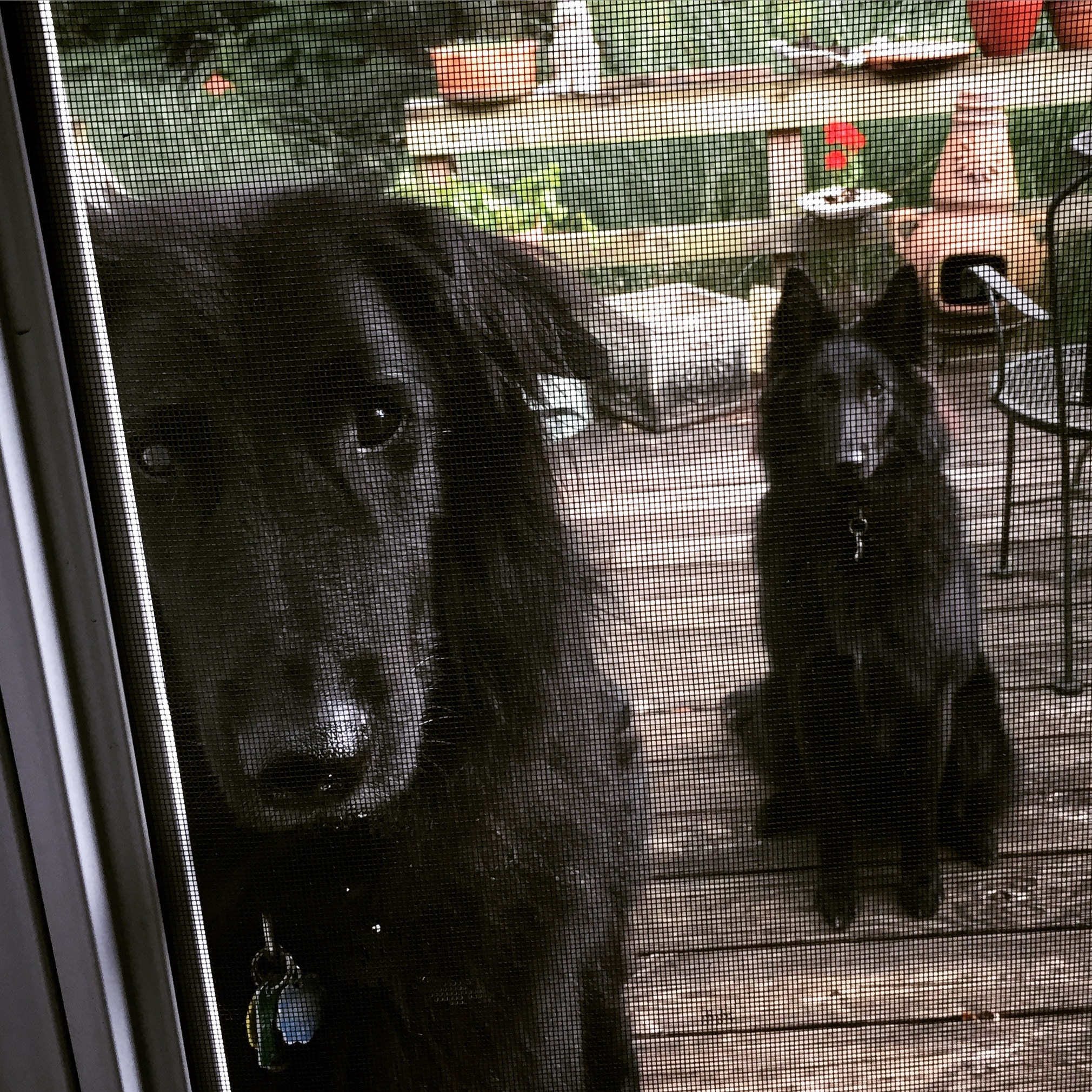 Belgian Shepherds Junior and Lily