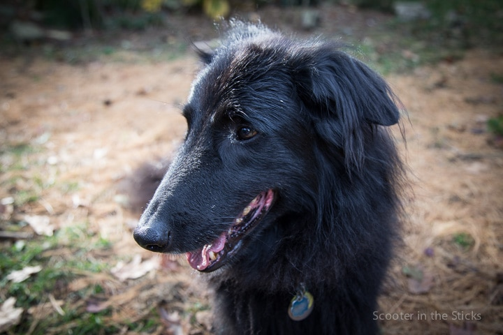 Junior, a male Belgian Sheepdog