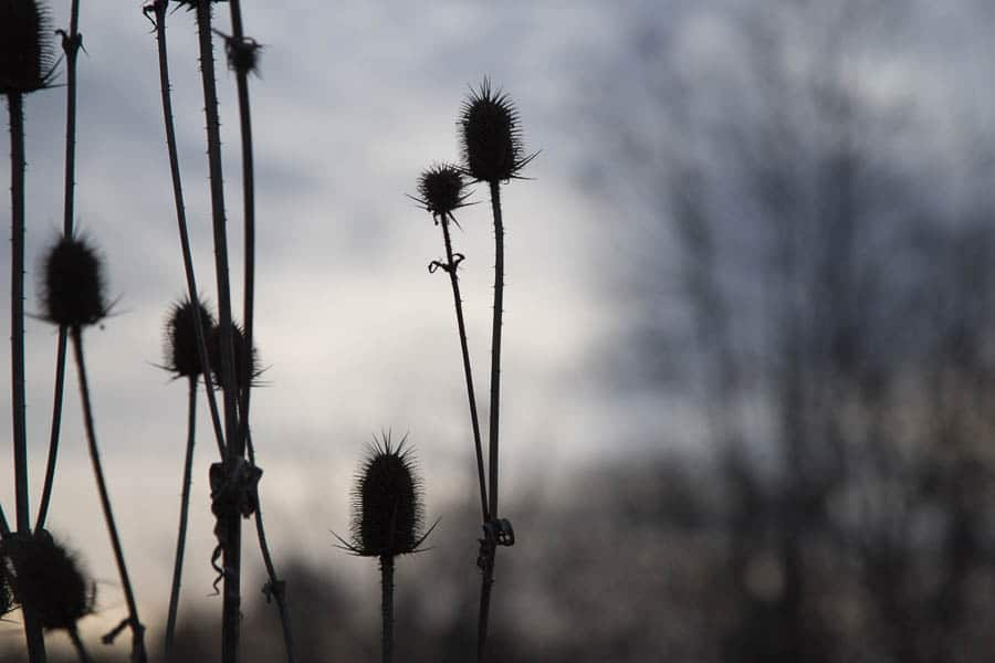 winter time thistle as the day grows dark