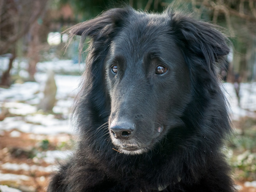 Portrait of Belgian Sheepdog named Junior