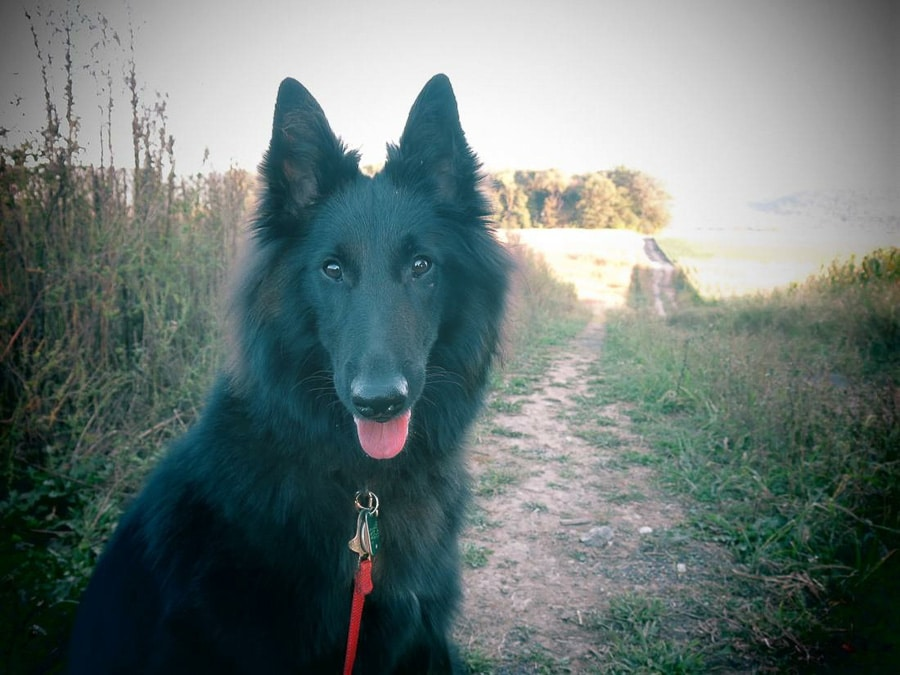 Lily the Hammer, Belgian Sheepdog