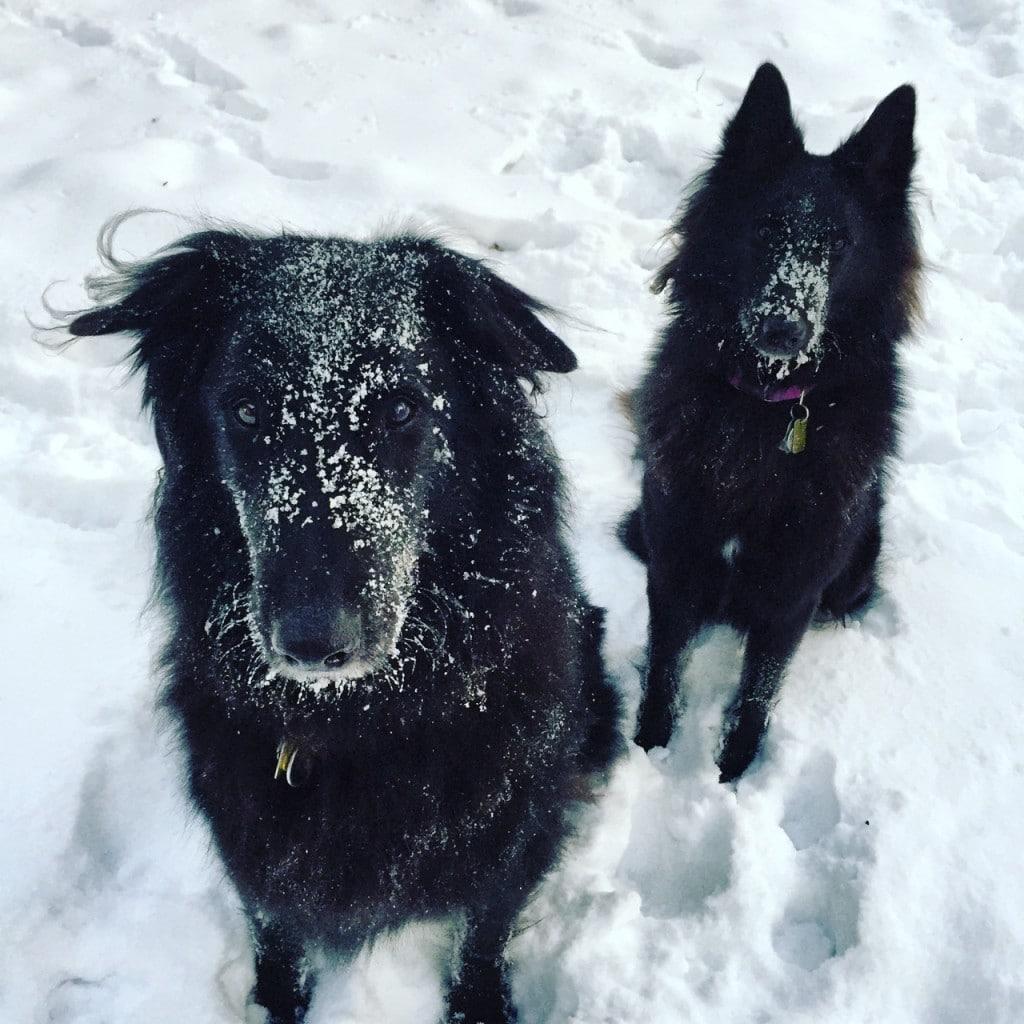 Two Belgian Sheepdogs