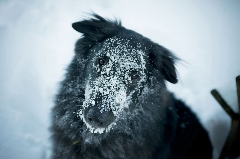 Belgian Sheepdog covered in snow