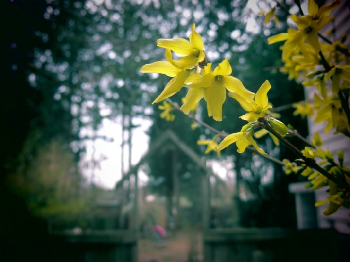 forsythia blossoms in shady garden