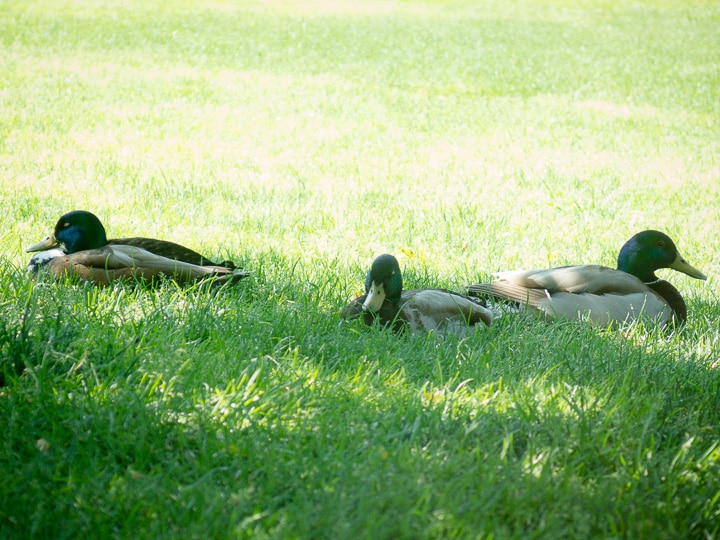 Three mallard ducks in the grass