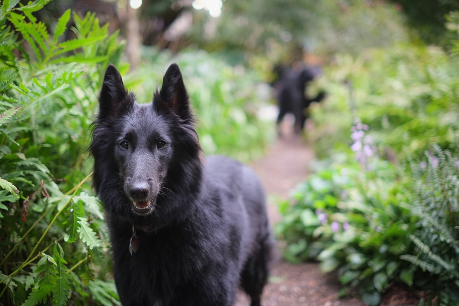 Belgian Sheepdog Lily waiting to play fetch