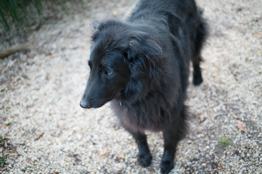 Mature Belgian Sheepdog