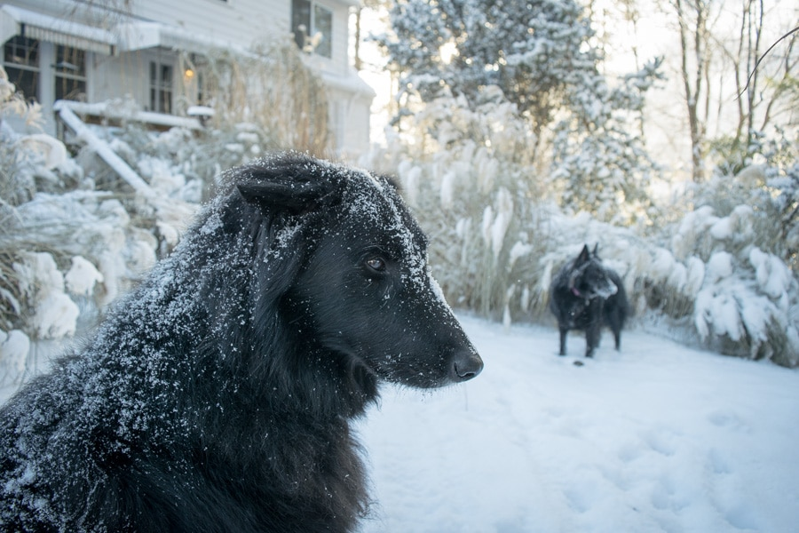 Two Belgian Sheepdogs in the snow