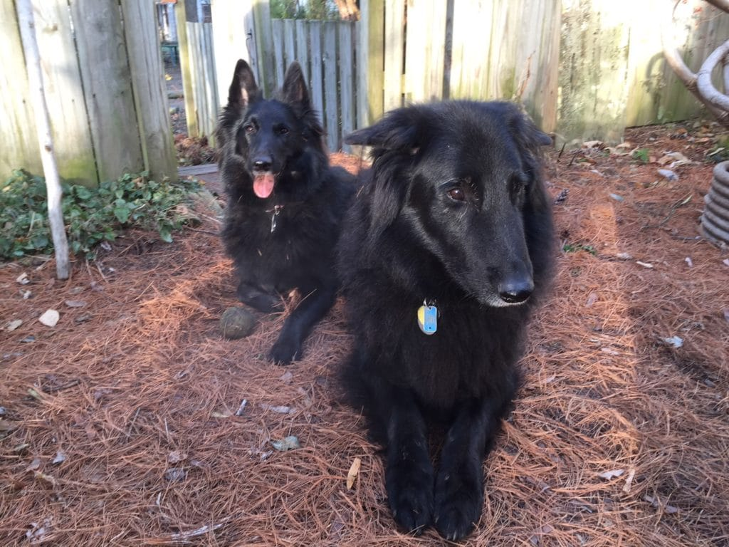 Two Belgian Shepherds