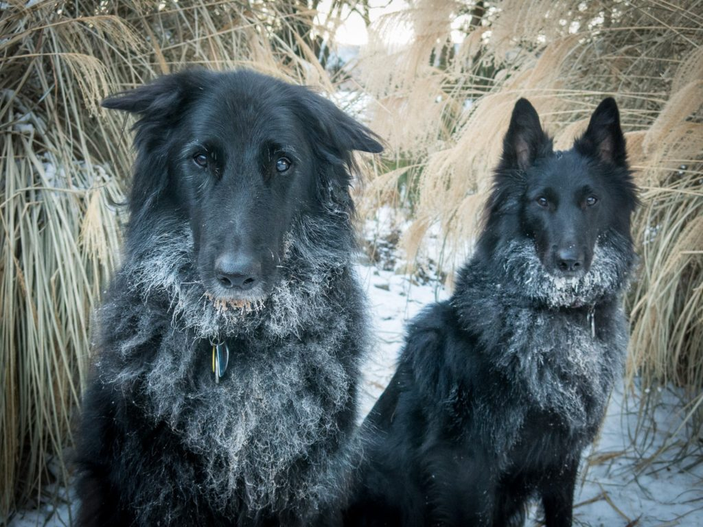 chilly dogs -- two Belgian Sheepdogs
