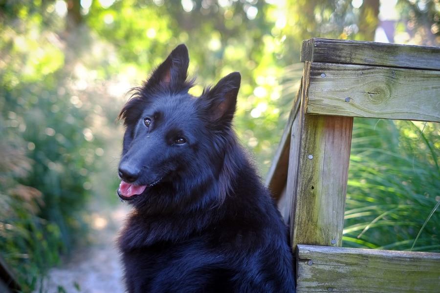 Portrait of a Belgian Sheepdog