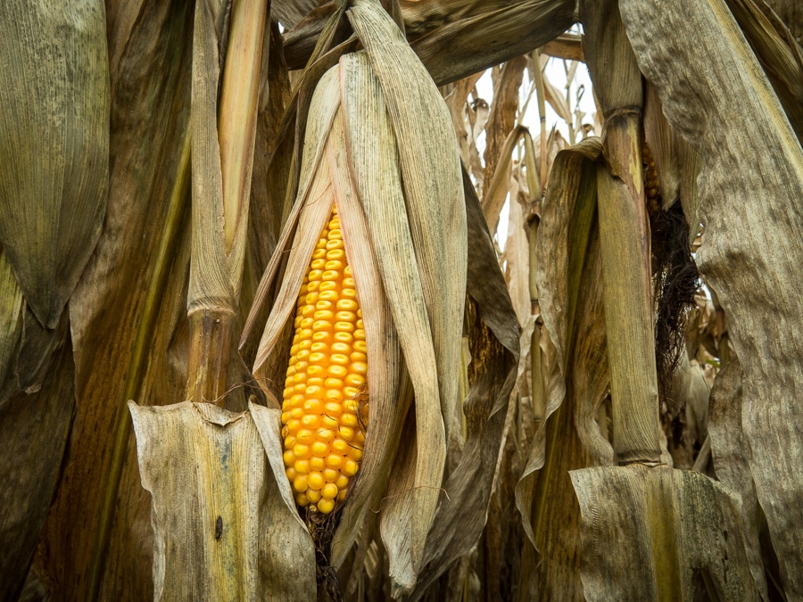 Ear of drying field corn before harvest