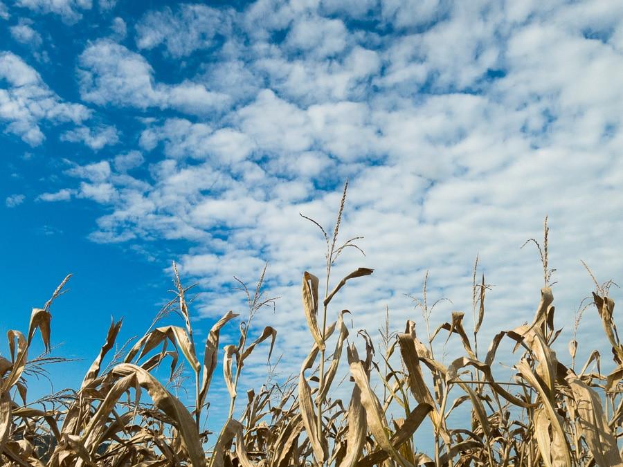 Corn drying in cornfield